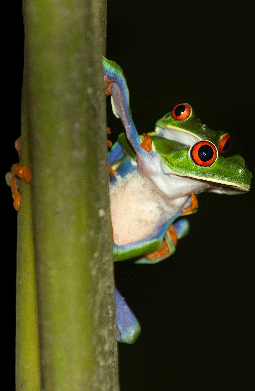 A tree frog carrying it's young.