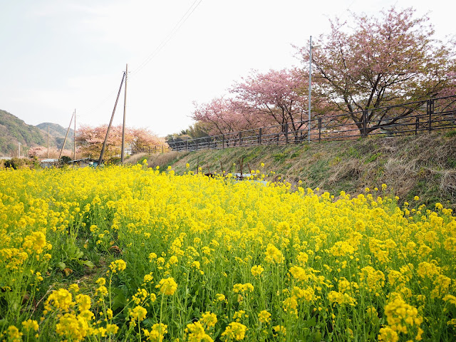 河津川 河津桜 菜の花
