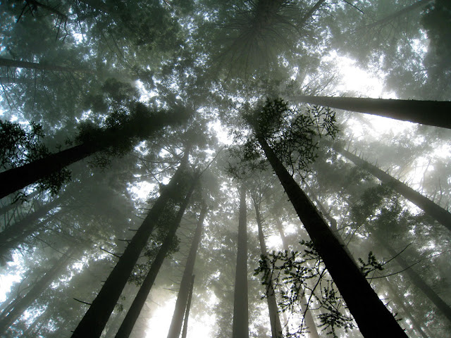 The majesty of ancient redwood forests