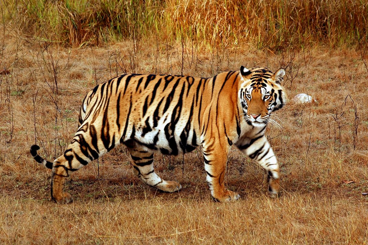 Bengal Tiger | The Life of Animals