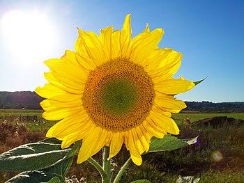 """El girasol, icono de las energías renovables por su enorme aprovechamiento de la luz solar, su uso para fabricar biodiésel y su """"parecido"""" con el Sol."""