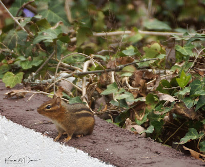 chipmunk on wall