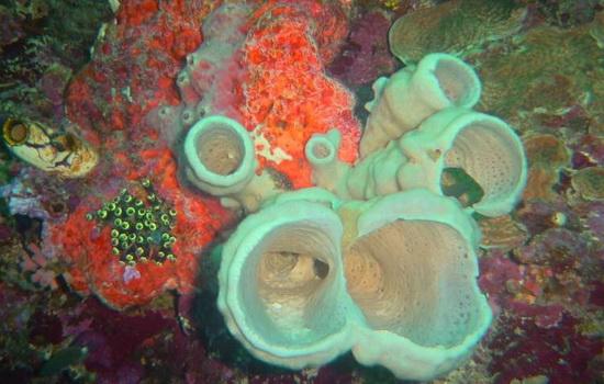 Laporan Penelitian Enam Spesies Spons Baru Dicatat di Bunaken