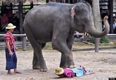 pijat paling ekstrim yaitu menggunakan media gajah untuk memijat