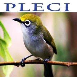 Harga Burung September 2013 Harga Mobil Bekas Kijang Innova Update September Oktober Om Hoby Mengenal Burung Pleci