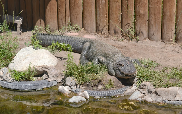 Colorado Gator Farm, what to see in Alamosa Colorado, what to see in Canon City Colorado, Gator farm Colorado, Reptile park Colorado, Mosca Colorado Gator Park, What to see in Mosca Colorado, southern Colorado family activities, Alligator Farm Colorado,