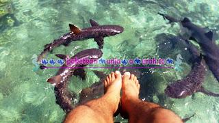 kolam hiu karimunjawa menjangan besar
