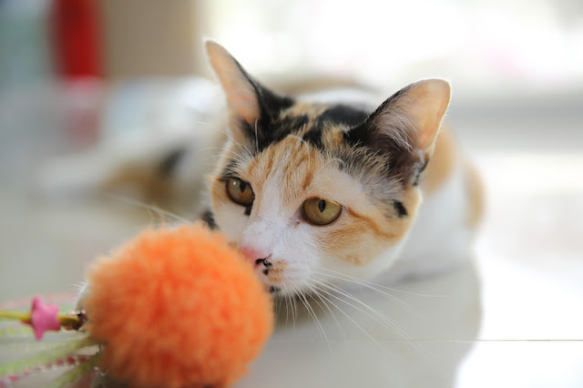 Close-up of a calico cat playing with a toy