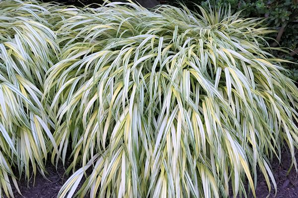 A guide to northeastern gardening for Oriental grass for shade