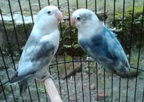 Gambar Lovebird Blorok