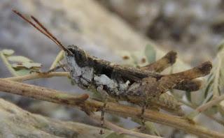 Horesidotes cinereus, Ash-gray Range Grasshopper