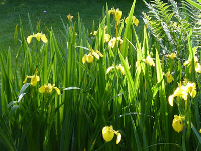manfaat-bunga-iris-untuk-kesehatan.jpg