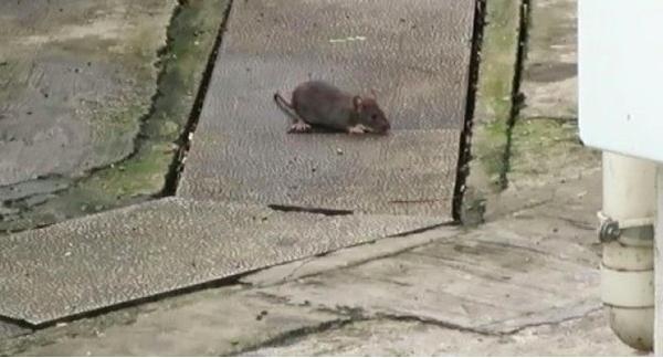 3 Warga Hong Kong Terinfeksi Virus Hepatitis E Yang ditularkan Oleh Tikus