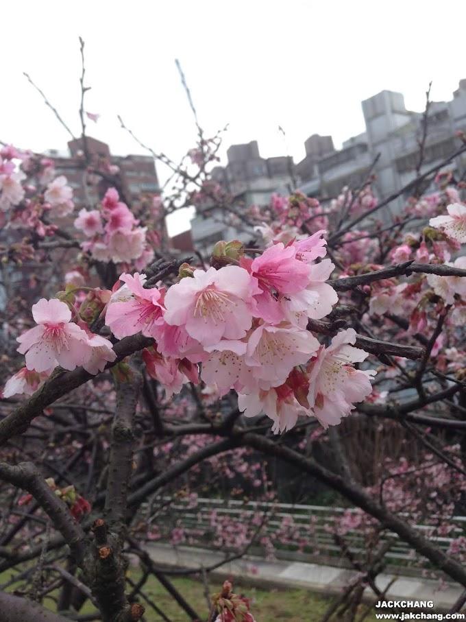 Neihu Taipei,Donghu Station Lehuo Park Cherry Blossom Forest 2019