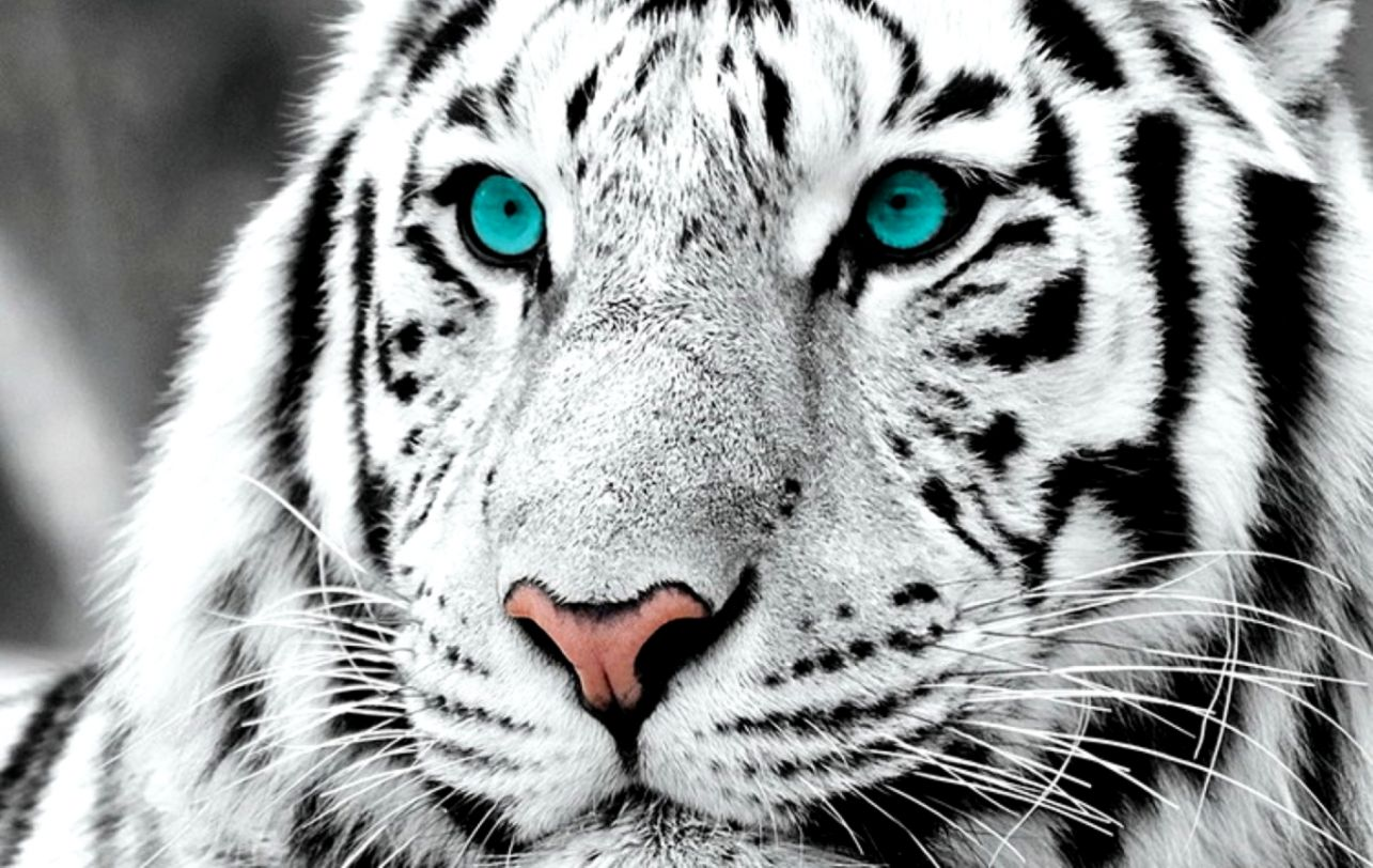 White Tiger With Blue Eyes Wallpaper Wallpapers Comp