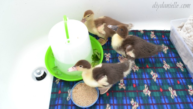 Easy duckling brooder setup in a bathtub.