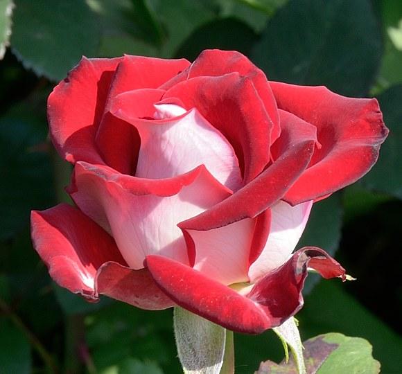 Alliance сорт розы фото