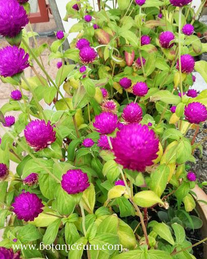 Gomphrena globosa, Globe Amaranth, Bachelor Button bracts