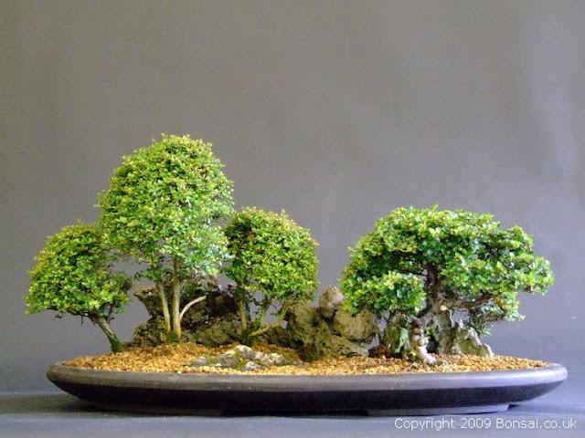 Cham soc bonsai mini dep, chăm sóc bonsai mini đẹp, cắt tỉa bonsai mini đẹp, tạo hình bonsai mini đẹp, tao hinh bonsai mini dep, cat tia bonsai mini dep