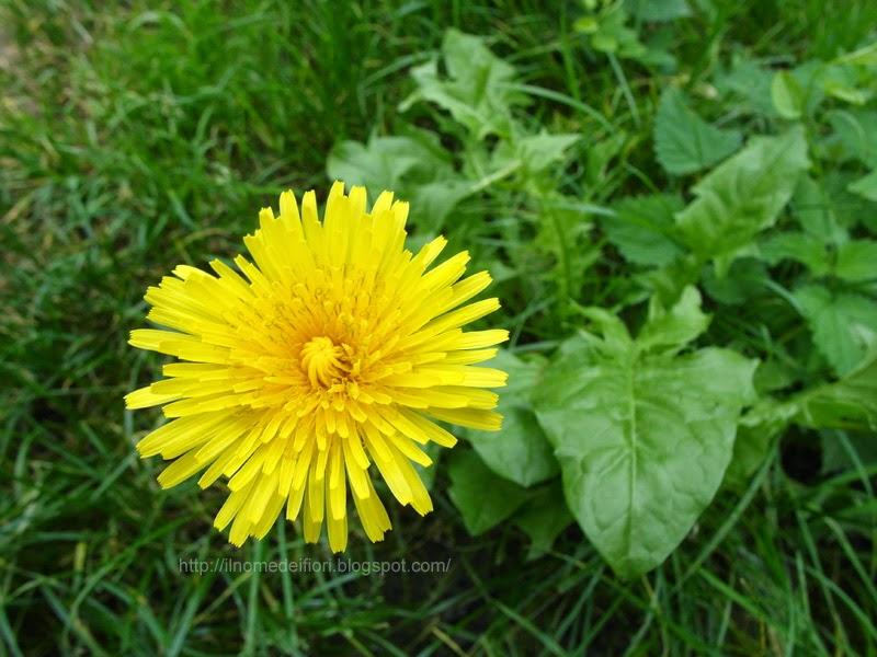 Il nome dei fiori: Tarassaco comune: da fiori gialli a soffioni