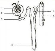Soal Biologi : Sistem Ekresi Manusia - Hewan & Jawaban