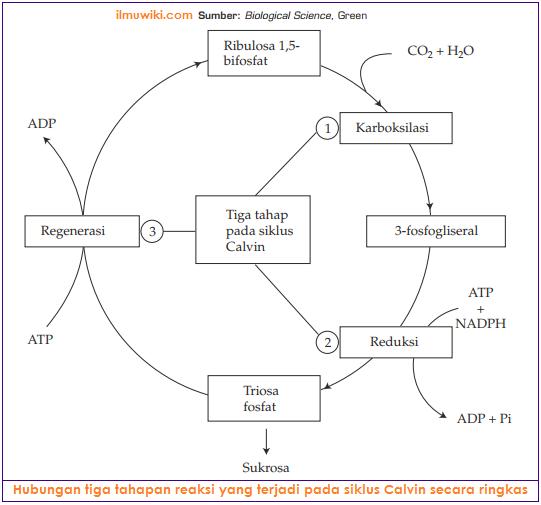 Hubungan tiga tahapan reaksi yang terjadi pada siklus Calvin secara ringkas