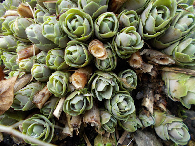 New growth on sedum spectabile Cutting back Perennials Green Fingered Blog