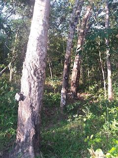 pohon karet www.odzzal65.com