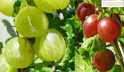 Gooseberry fruit,Gooseberry,বৈঁচি লতা ফল