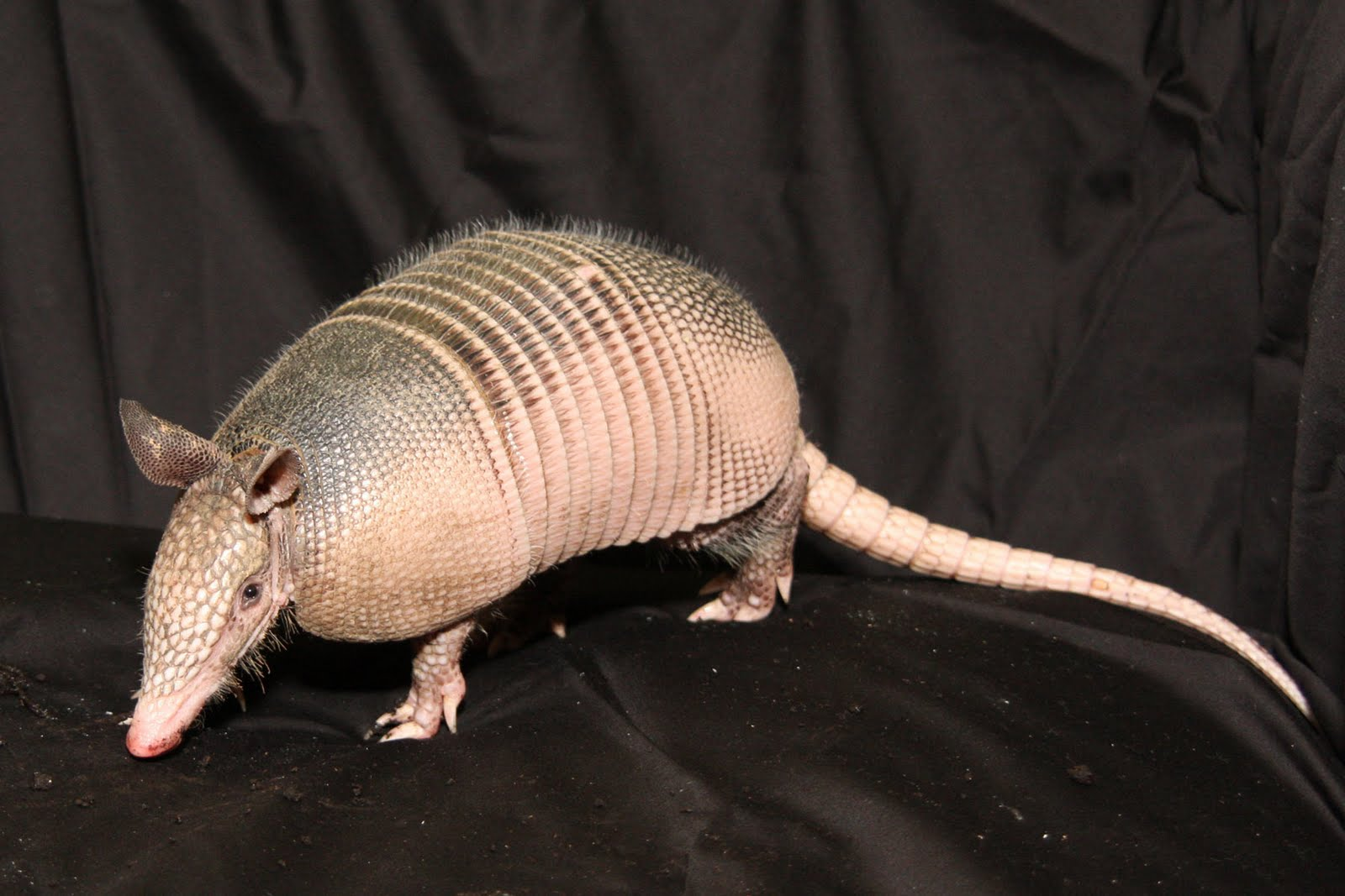 Armadillo | A-Z List of 125 Rare Albino Animals [Pics]