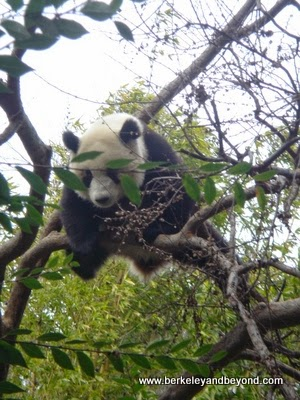 giant panda in tree at San Diego Zoo in California