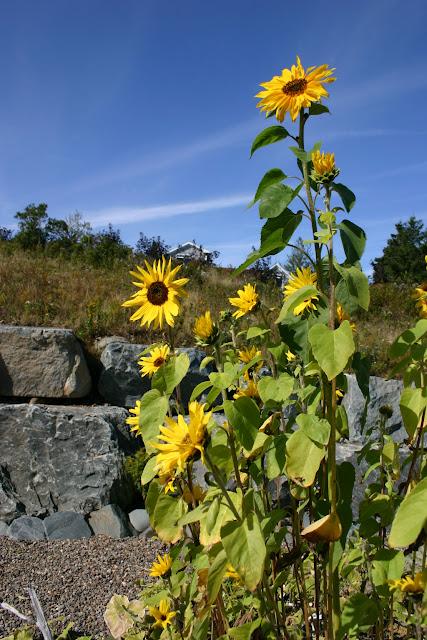 Sunflowers in my garden.