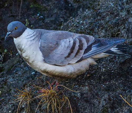 Birds of India - Image of Snow pigeon - Columba leuconota