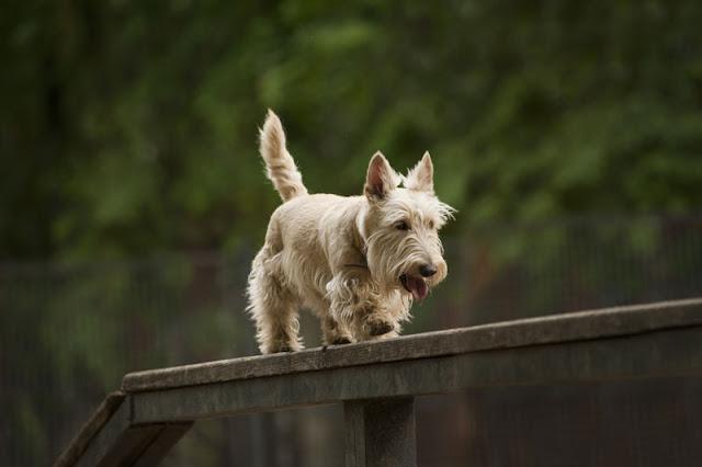 A Scottish Terrier balances on a beam