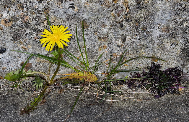 Dandelion plus. Saville Row, Hayes, 6 May 2016.
