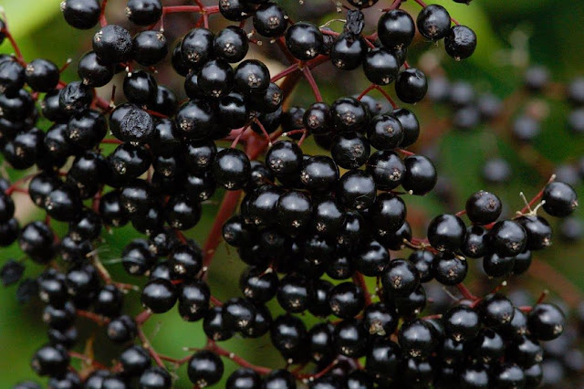Elderberry Eropah Salah Satu Bahan Utama Vivix Shaklee Aka Sirap Ajaib
