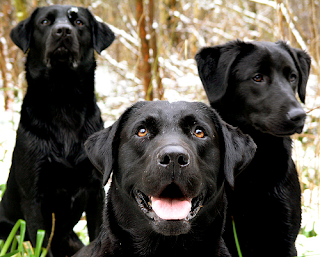 Black Labs, mrpattersonsir@flickr