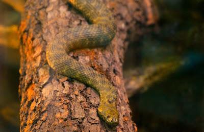 schlangen, snake, Serpientes, yılanlar, rắn, węże, slange, gjarpërinj, օձ, ilan, suge, zmije, змии, slanger, 蛇,maod, käärmeitä, serpents, φίδια, ular, nathracha