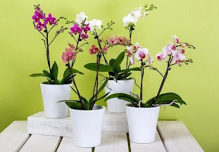 Climate Is Right for Orchid Plant