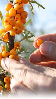 sea buckthorn berry