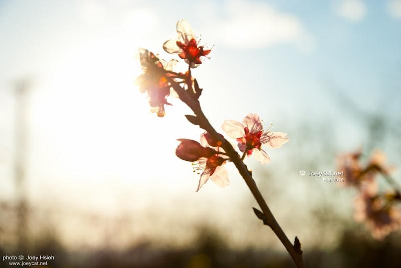員農種苗芬園花卉生產休憩園區 櫻花