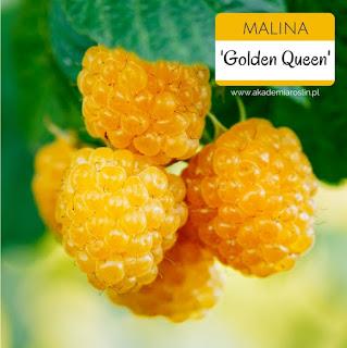 zdjęcie żółtych malin
