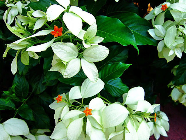 Một loài cây Bướm Bạc - Mussaenda pubescens - Nguyên liệu làm thuốc Chữa Tê Thấp và Đau Nhức