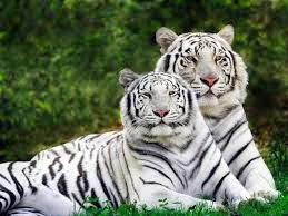 Harimau Bengal putih