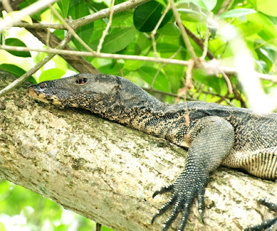 Water Monitor (Varanus salvator)