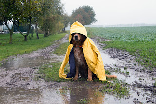 Stock photo of a dog wearing a yellow rain coat in a muddy field