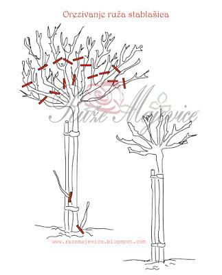 Orezivanje ruža stablašica