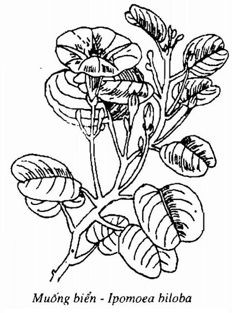 Hình vẽ Muống Biển - Ipomoea biloba - Nguyên liệu làm thuốc Chữa Cảm Sốt