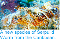 http://sciencythoughts.blogspot.co.uk/2015/01/a-new-species-of-serpulid-worm-from.html