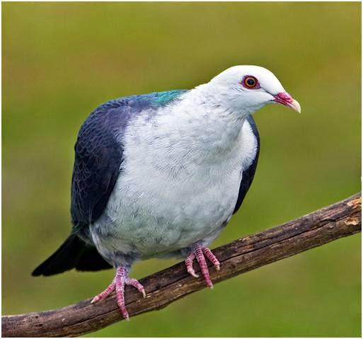 Budidaya Burung: Info Merpati Hias Jenis White Headed Pigeon